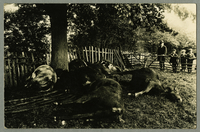 Cows in slumber with man and three boys watching [front]